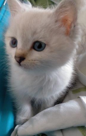 Отдам белых котят