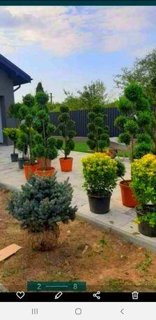 avem ogamă mare de plante ornametale la preț de producător