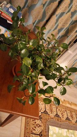 Продам домашний цветок -Фикус пеперомия туполистная