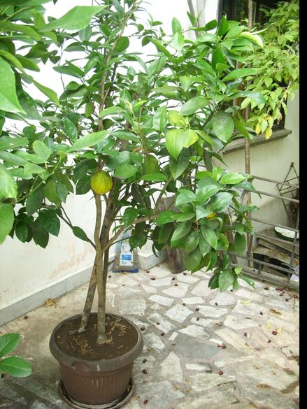 Дърво портокал