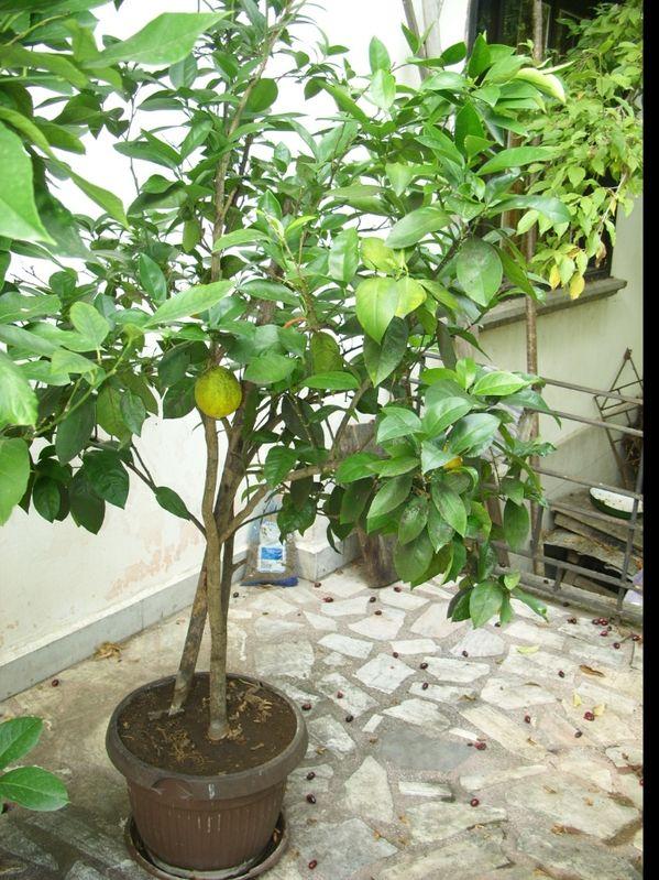 Дърво портокал гр. Тетевен - image 1