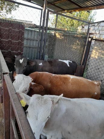 Продам телят бычки и телочки