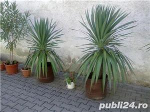 YUCCA - plante decorative