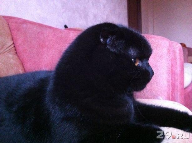 Вязка срочно котик шотландский
