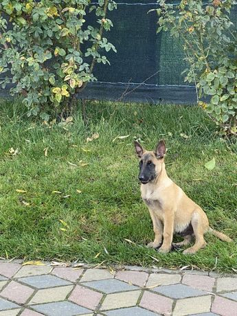 Caine lup Melinois ( Lup belgian ) parinti cu pedigree