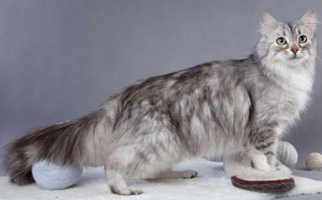 Котёнок сибирский 4 месяца