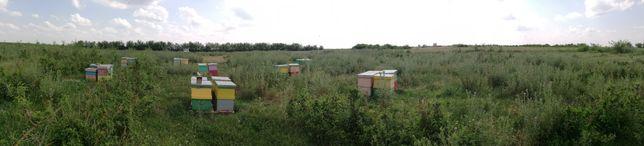 Rame pline cu miere