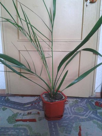 Палма - финикова
