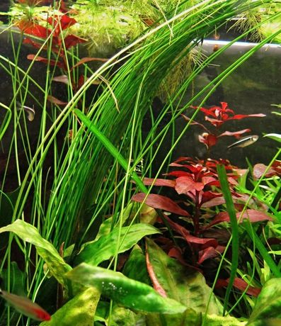 Ситняг Гигантский (Eleocharis sp.xingu) - аквариумное растение