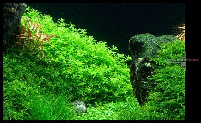 Аквариумное растение Хемиантус микрантемоидес