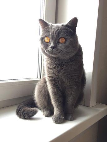 Продам кота чистокровного короткошерстного британца