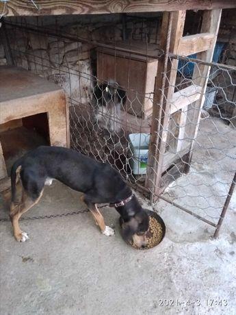 Продавам ловни кучета