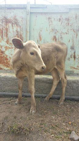 Срочно продаю теленка алатауской породы ,семыз кой бар ысек кой.