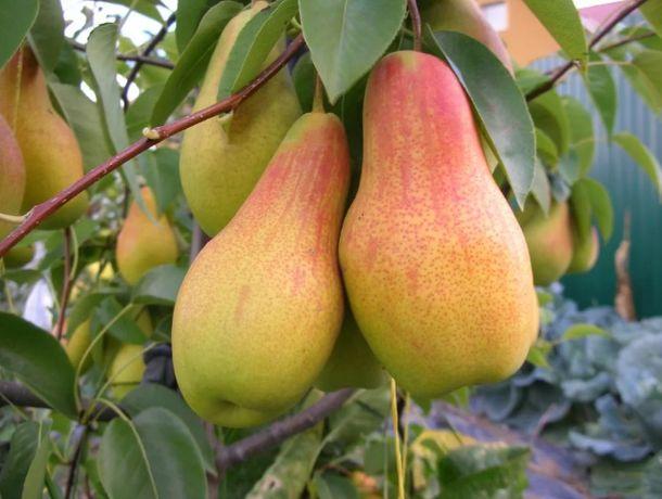 Саженцы крупноплодных сортов черешни и другие плодовые деревья