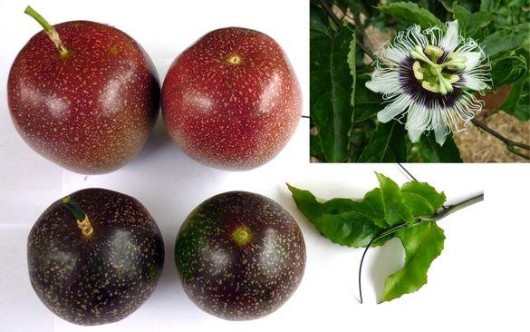 Пасифлора тропическа - 3 вида имам, стайно растение, плододав.