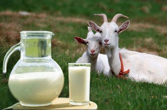 Козье молоко.  Ешкі сүті