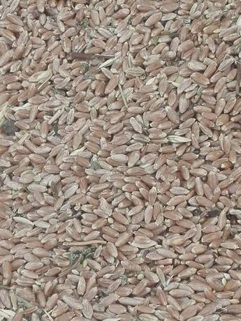 Продам зерно от ходы