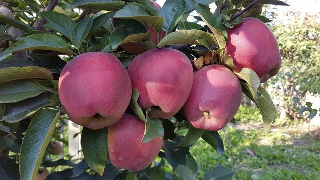 Яблоки американка золотой