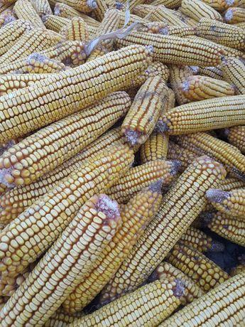 Кукуруза в пачатках