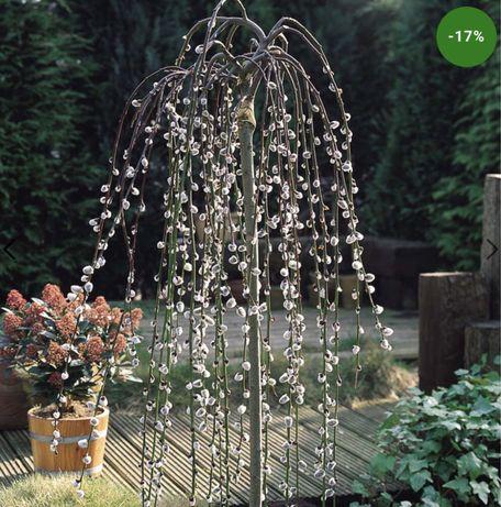 Plantă ornamentală-salcie pitică!