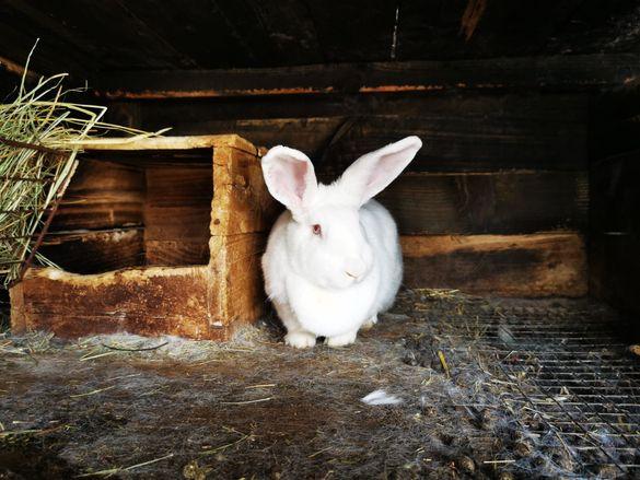 Продавам зайци цика