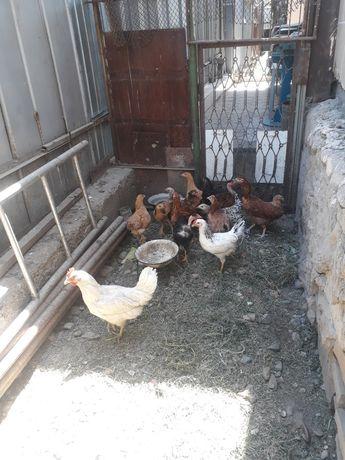 Цыплята несушки.