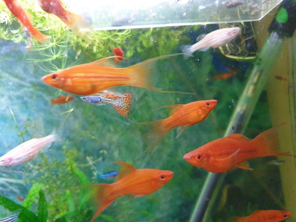 Pesti acvariu , xifo , guppy , zebre, plante, melci, hrana vie
