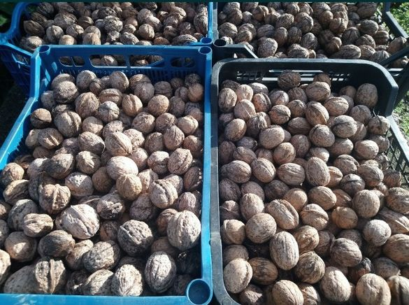 Качествени орехи - ядки