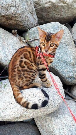 Бенгальский котенок - мини леопард!