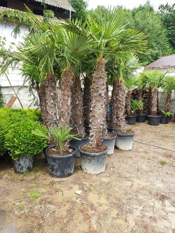 Palmier rezistent la frig