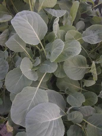 Продам рассаду капусты.