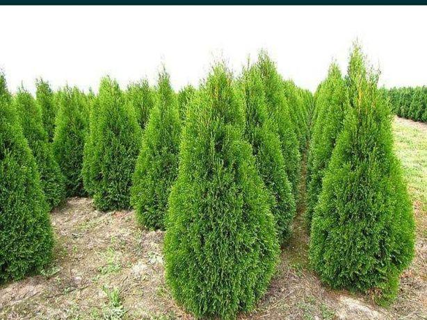 Tuia smarald la înălțime 1m-1.2m oferim transport și plantat