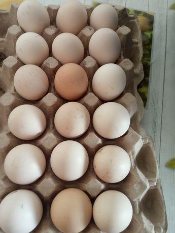 Кучинские инкубационные яйцо