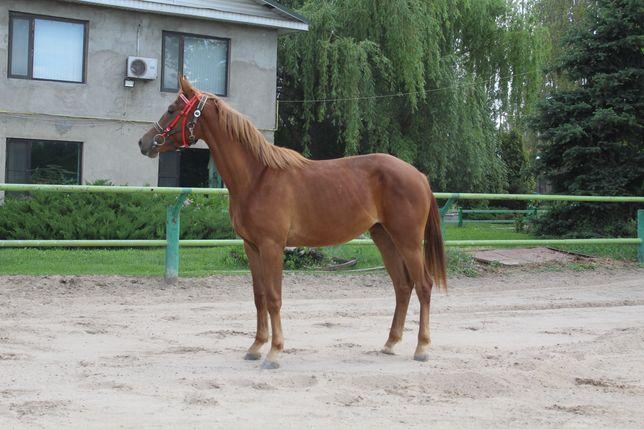 Продам молодую полукровную лошадь.