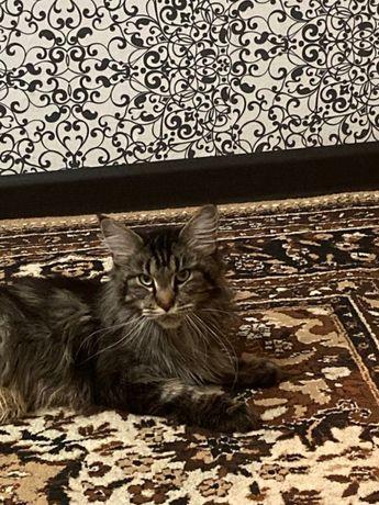 Кошка Мейн - кун