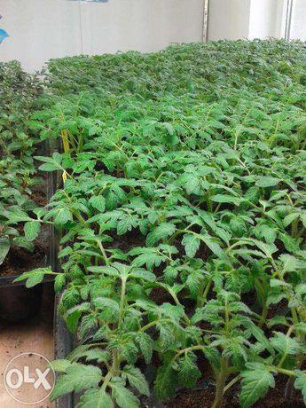 Rasaduri de legume Naturale BIO