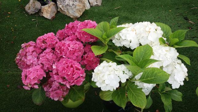 Hortensia roz sau alba