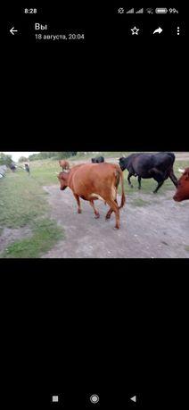 Продам двух дойных коров
