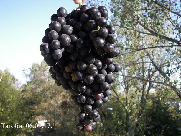 Виноград, саженцы, сорт Тагоби