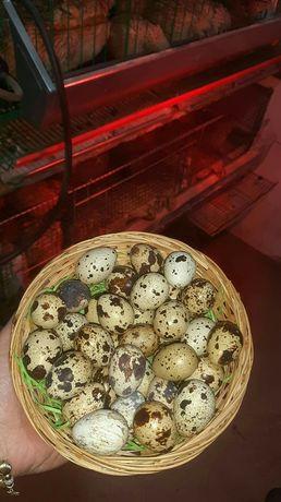 Oua de prepeliță