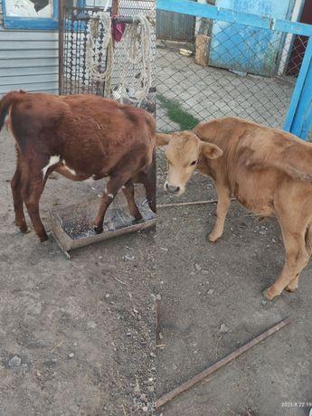 Продам телят и коров