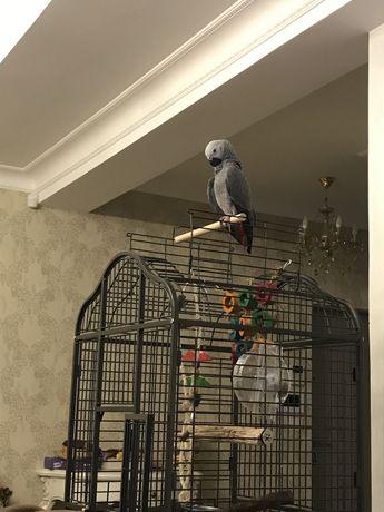 Papagal Jako Mascul