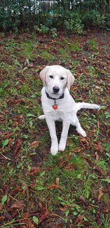 Lucy labrador iubitor de 6 luni