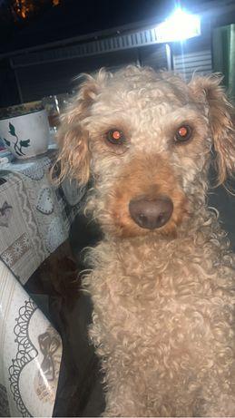Найден пес