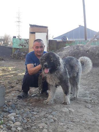 Кавказская овчарка продается,сатам