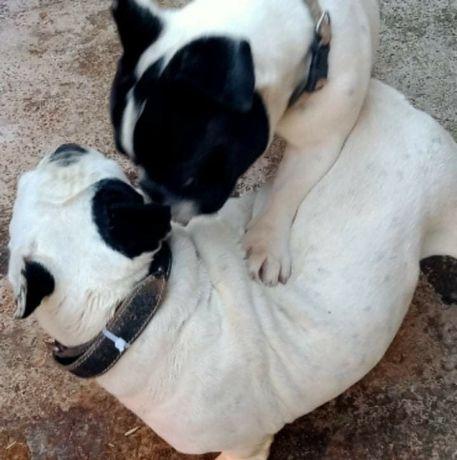 Montă Bulldog francez Bichon maltez mascul Suceava