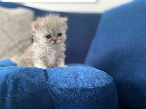 Pisicuță persană chinchilla din părinți cu pedigree