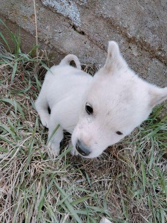 Продам собачку порода лайка
