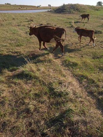 Корова. Продам  коров с телятами