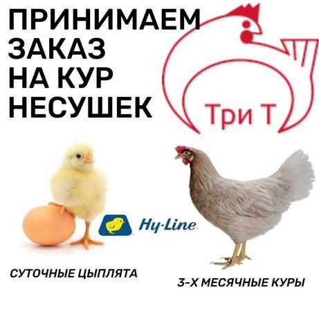 Принимаем заказы на 3-х месячных кур и на суточных цыплят